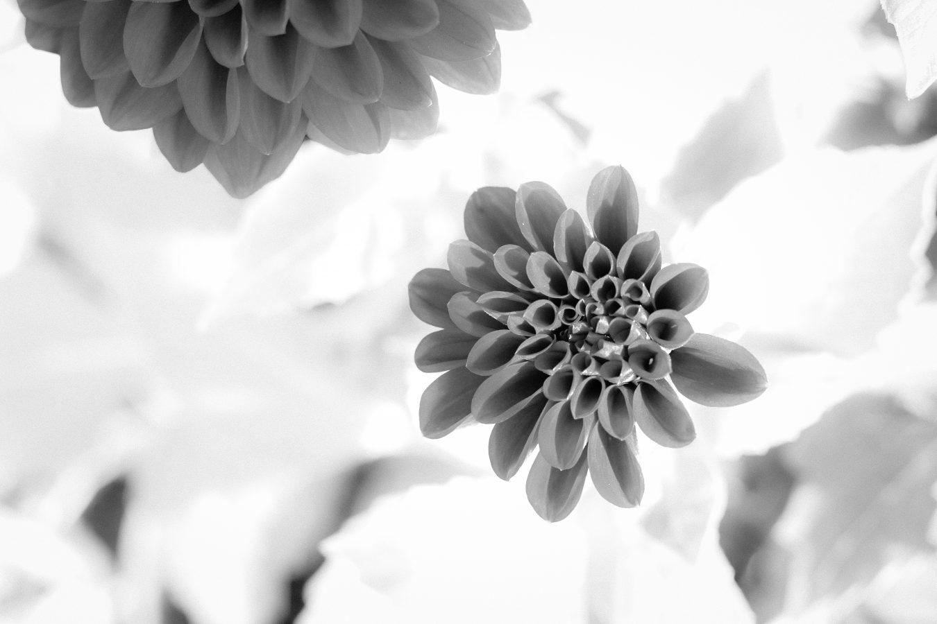 Black and white Dalhlia