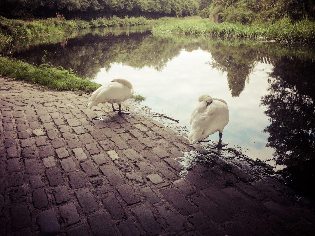 restingswans