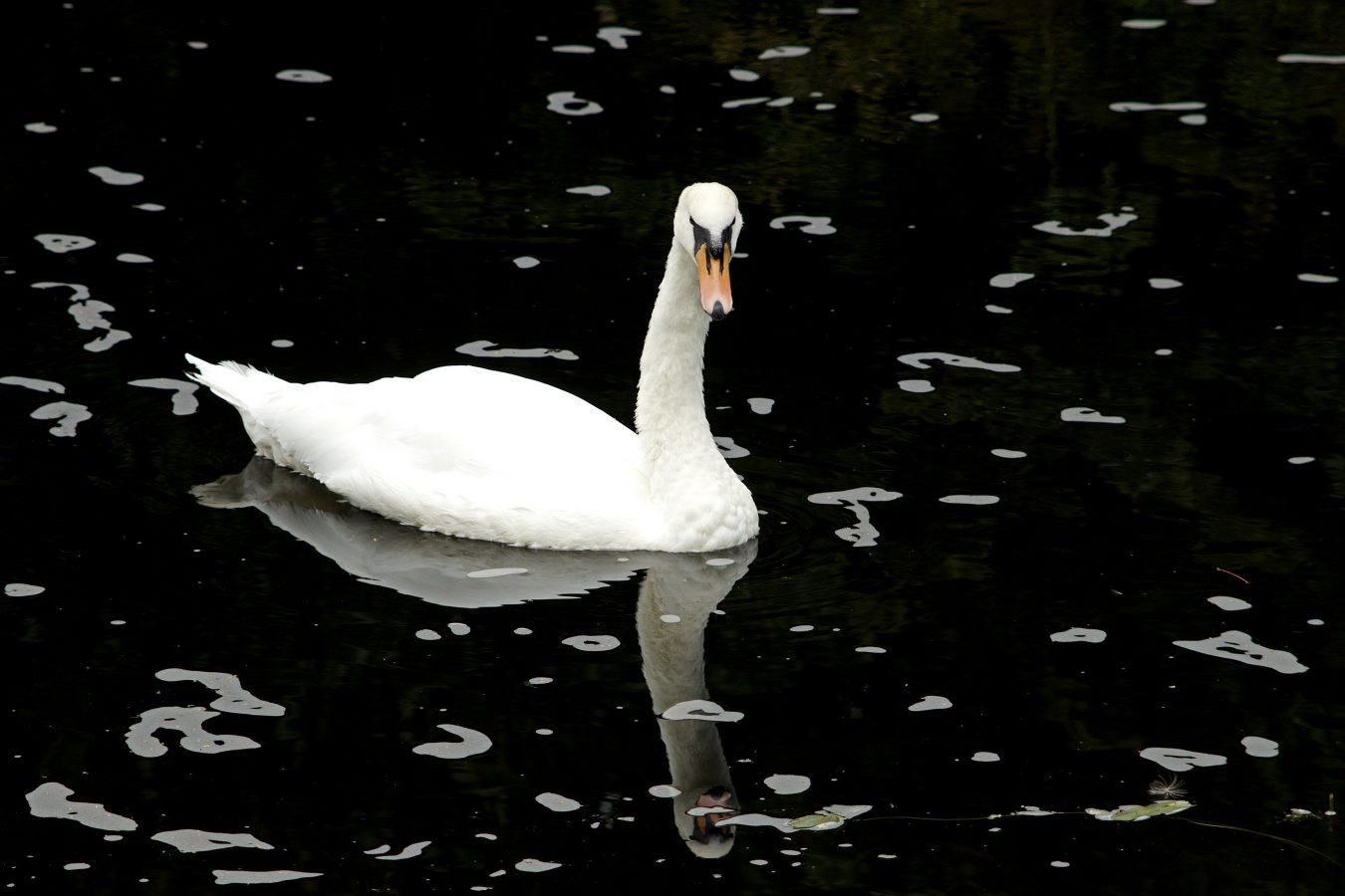 whiteswanblackwater
