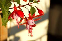 Fushia flowers on balcony