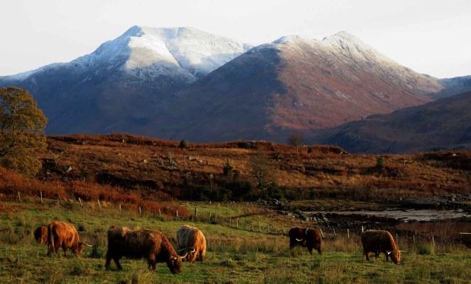 Highland Cattle and Ben Starav. Loch Etive.