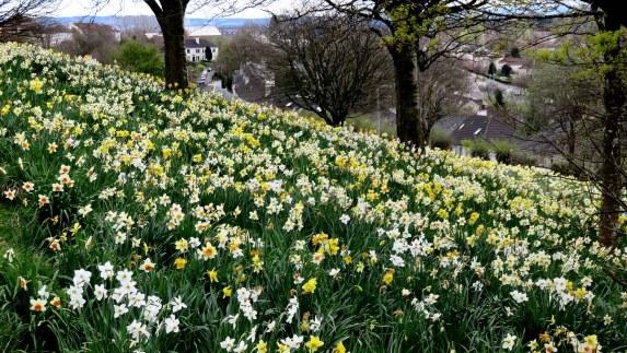 Daffodil Heaven above Glasgow