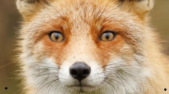 fox star