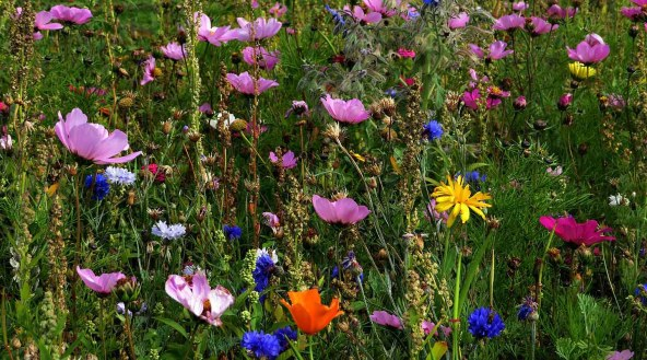 Wild Flower Mixture. Prestonpans.
