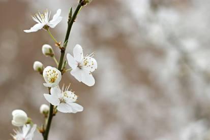blossom jim