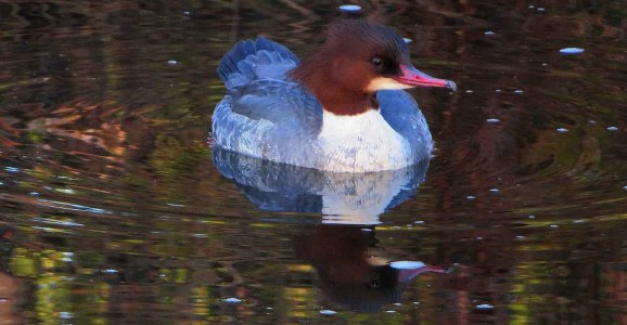 Goosander Reflection. River Almond