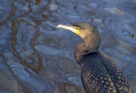 cormorant time jim canal