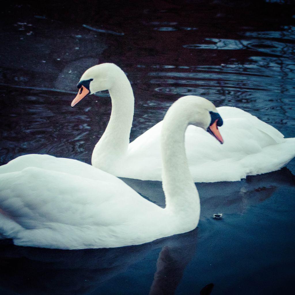 swans dance boogie wonderland