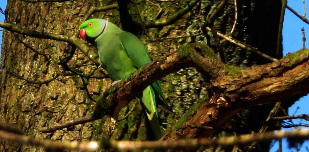 Green Parakeet in Tree