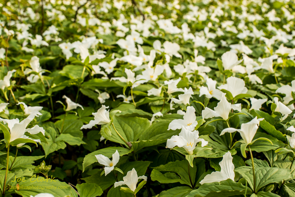 Field of Trillium by Joe Clark www.glasslakesphotography.com