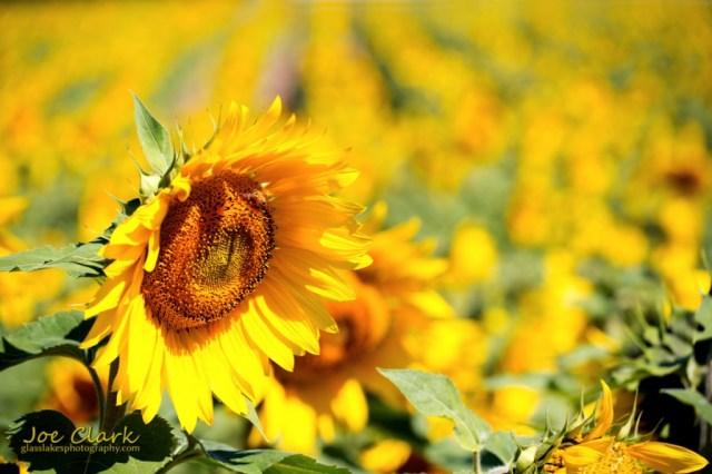 Sunflowers by Joe Clark www.glasslakesphotography.com