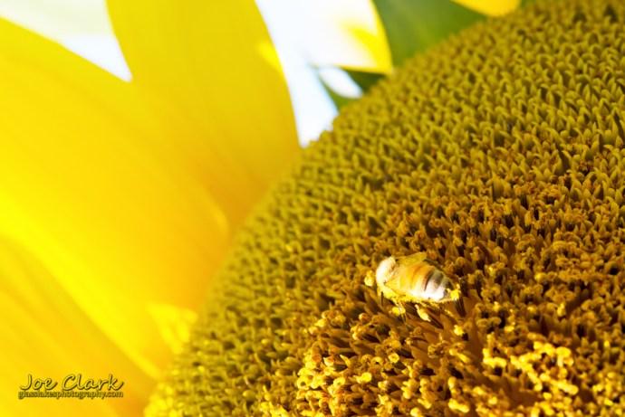 The Lonely Bee by Joe Clark www.glasslakesphotography.com