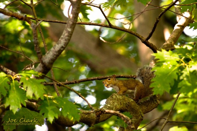 nutty squirrel by Joe Clark www.glasslakesphotography.com