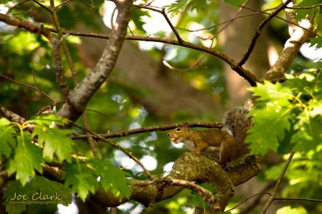 nutty squirrel by Joe Clark www.glasslakesphotography.com