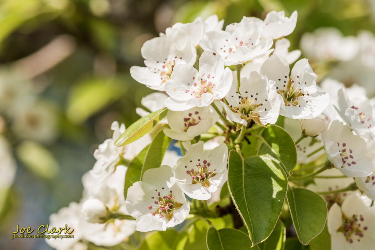 Apple blossoms still life landscape photographer Joe Clark Northern Michigan Charlevoix Petoskey Harbor SPrings