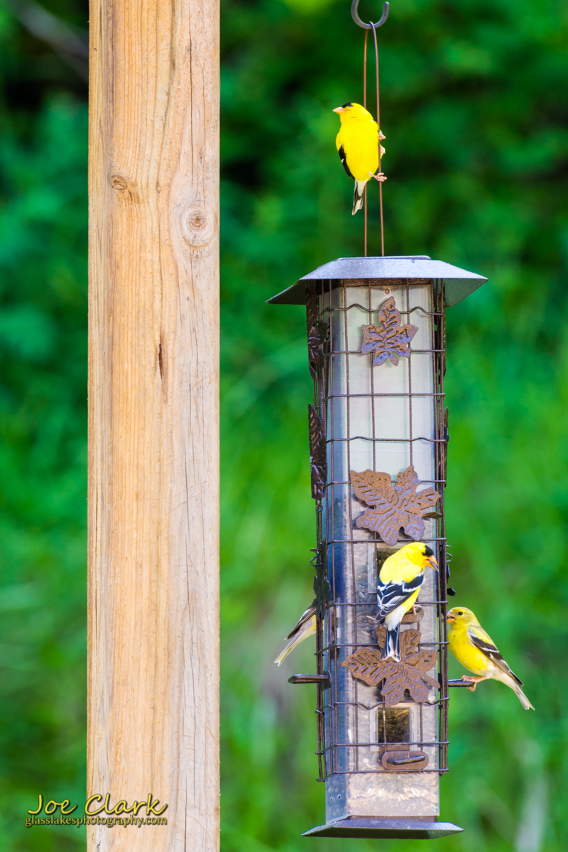 finches northern michigan photographer Joe Clark