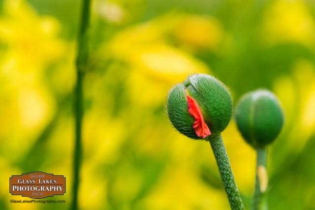 Botanical perserverance flowering plant