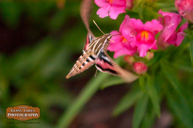Hummingbird Moth botanical photography petoskey michigan Joe Clark