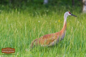 Sleeping Bear Dunes Sand Hill Crane Photography Joe Clark Glass Lakes Photography