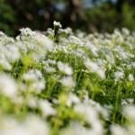 Flower Feild. By Joe Clark.