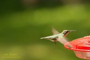 Humming Bird. By Joe Clark.