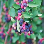 service berry saskatoon