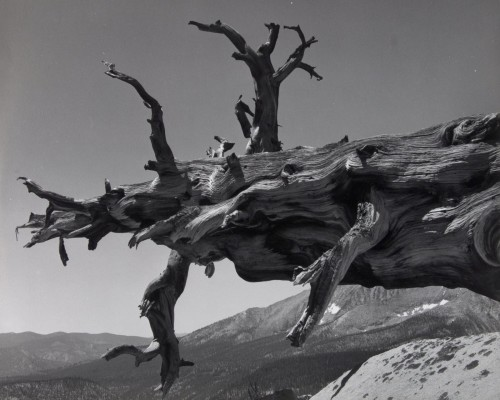 Ansel Adams, Fallen Tree, Kern River Canyon, Sequoia National Park, California
