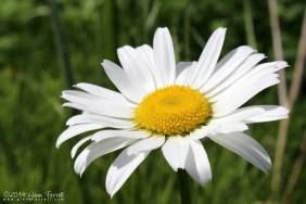 Just Daisy