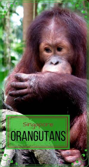 Singapore-travel-orangutan-sanctuary-Glimpses-of-The-World