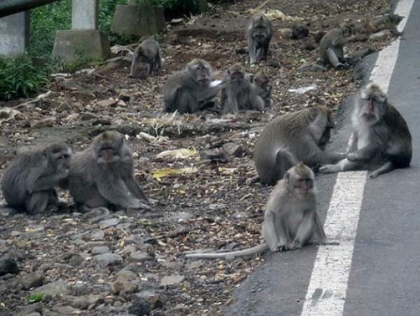 Travel-to-Bali-monkeys-on-the-road-Glimpses-of-The-World
