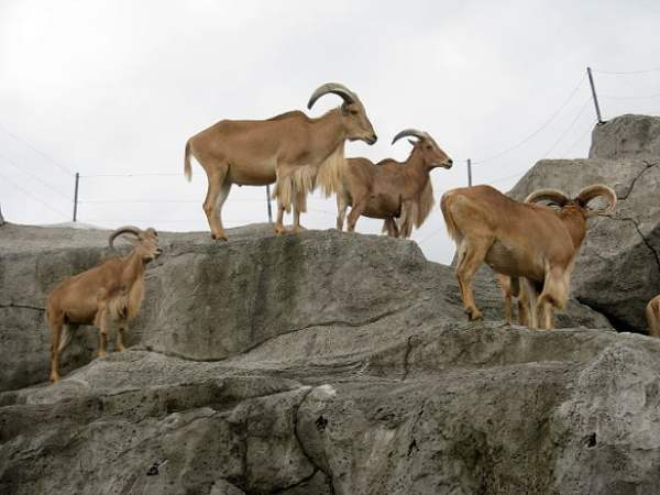 Travel-to-Bali-goats-Glimpses-of-The-World