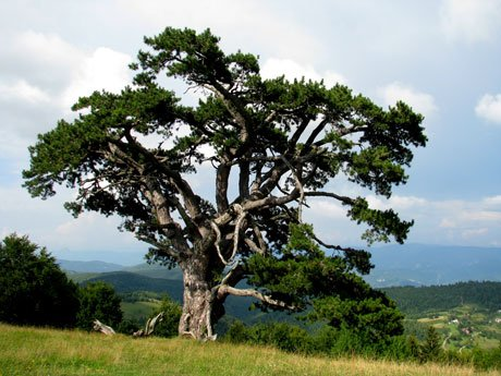 Serbia-travel-Kamena-Gora-pine-tree-Glimpses-of-The-World