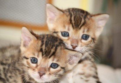 Choisir chaton