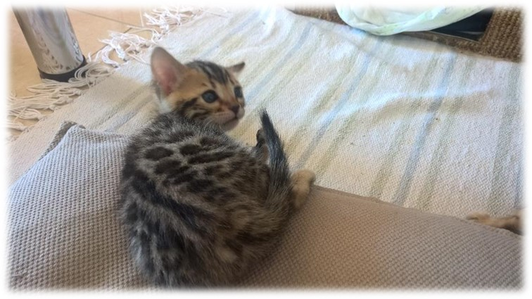 Chatons bengal disponible Lausanne Glitterine