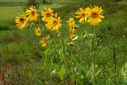 Powerful Natural Painkillers  Arnica