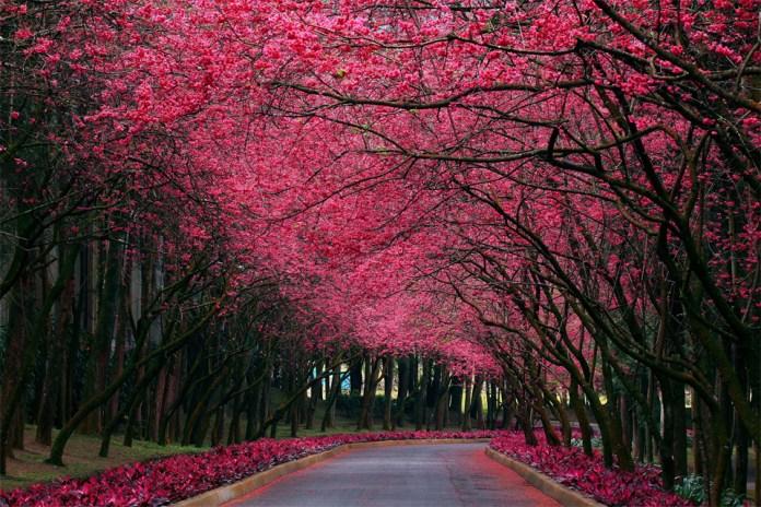 Beautiful cherry blossom road