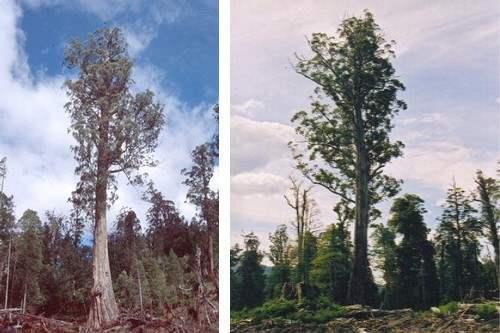 El Grande (Popular Trees