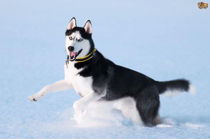 Husky most dangerous dog breeds