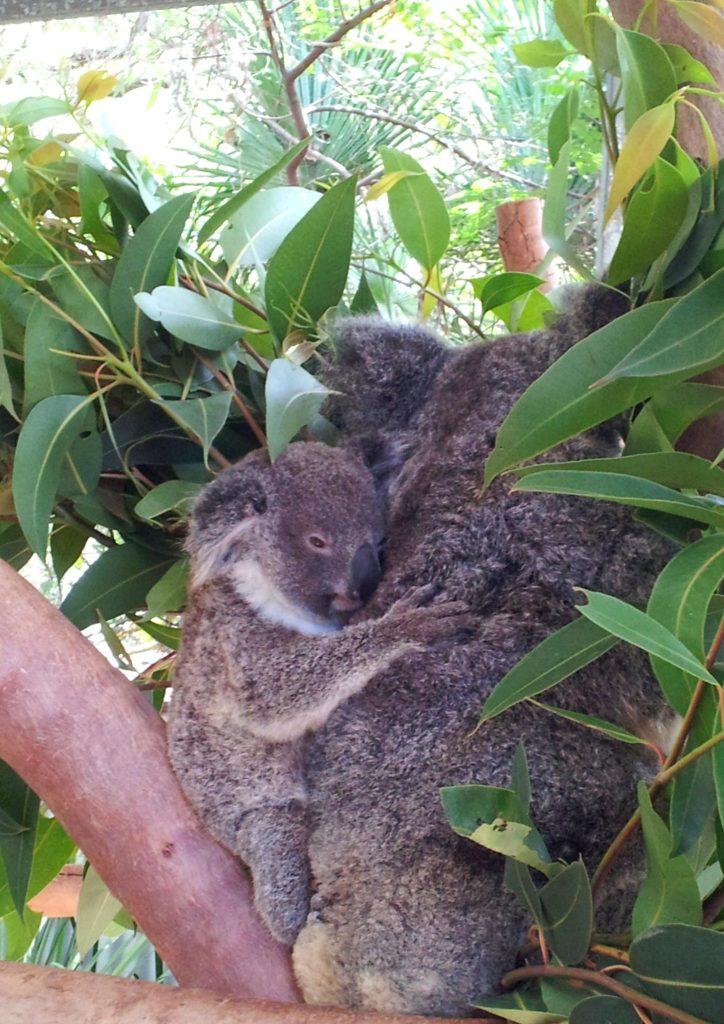 koalas cuddling