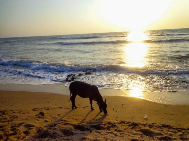 cow goa beach sunset