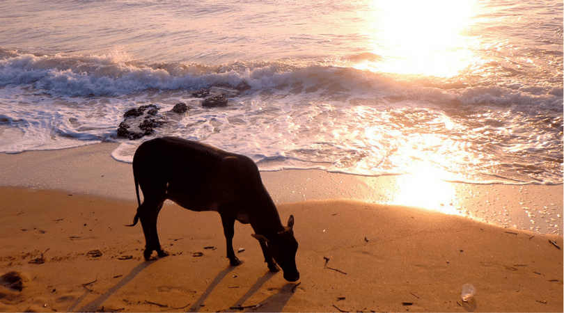 cows on the beach in Goa