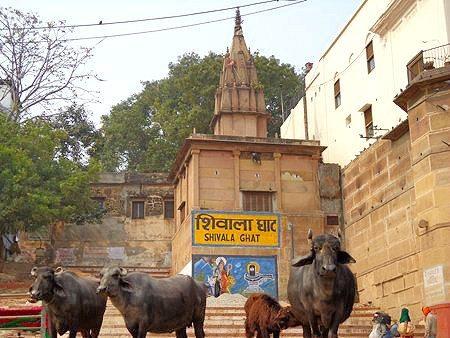 ghats buffalo