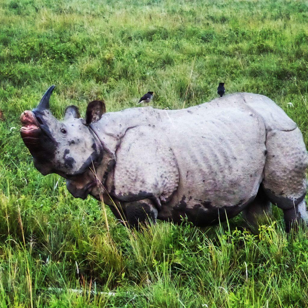 Rhino in Kaziranga National Park, Assam