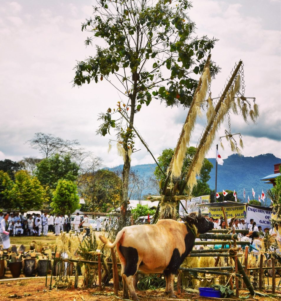 The sacrafice of the mithun is the main event of the Mopin festival