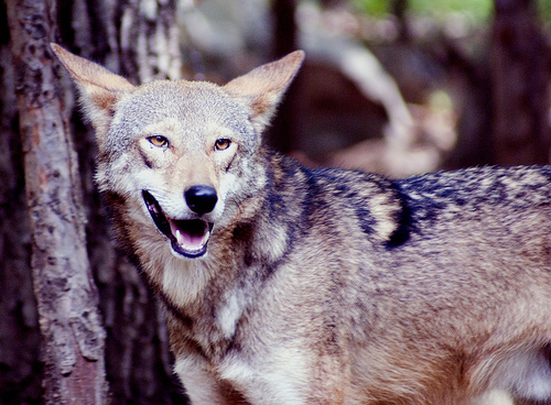 The red wolf is one of the world's most endangered animals.