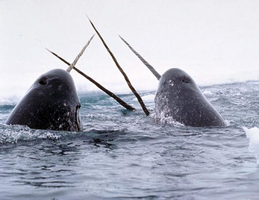 Narwhals. Photo Credit: Glenn Williams / The National Institute of Standards and Technology
