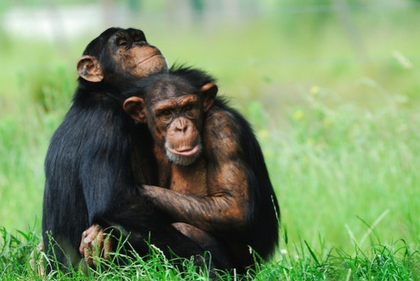 chimpanzees retired from research