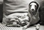 small greyhound black and white