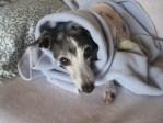 Greyhound in blanket