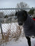 black greyhound in winter